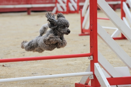 beautiful purebred poodle jumping in a competition of agility