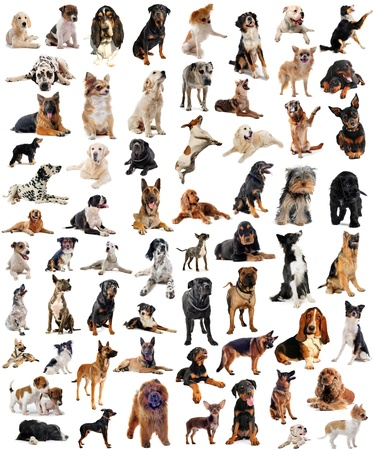 Photo pour composite picture with purebred  dogs in a white background - image libre de droit