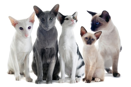 portrait of three oriental cats and two siamese cats in front of white background