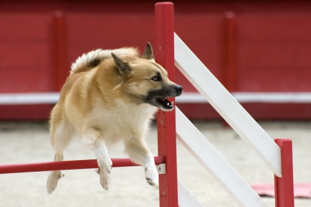Icelandic Sheepdog jumping in a competition of agility
