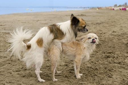 two purebred chihuahuas breeding on a beach