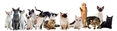 beautiful purebred cats on a white background