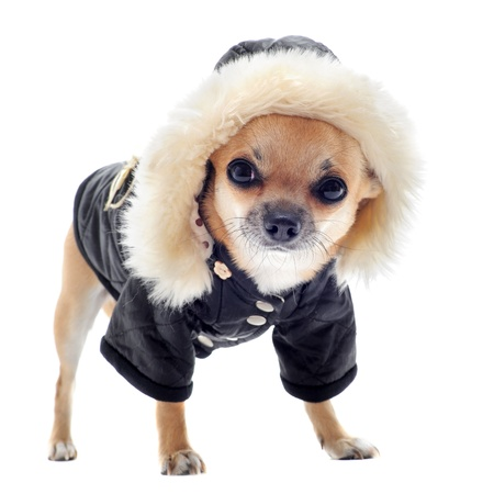 chihuahua dressed in front of white background