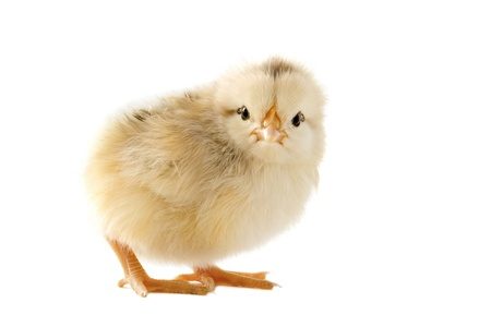 A small chick of bantam silkie on a white background