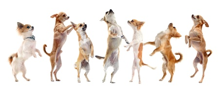 group of purebred  chihuahua standing on his hind legs
