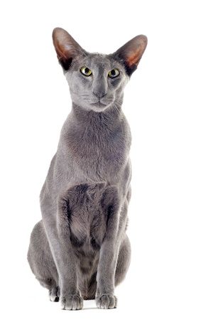 portrait of a gray oriental cat in front of white background