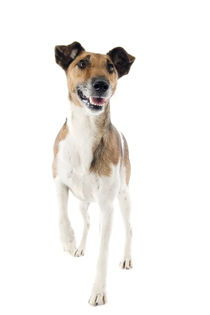 portrait of a purebred smooth fox terrier in front of white background