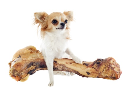 portrait of a cute chihuahua and his large bone  in front of white background