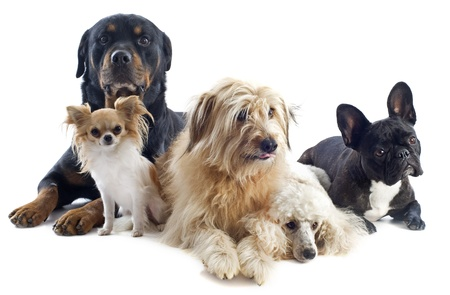 portrait of a pyrenean sheepdog, poodle, rottweiler, chihuahua and french bulldog in front of a white background