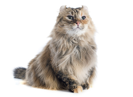 american curl cat in front of white background