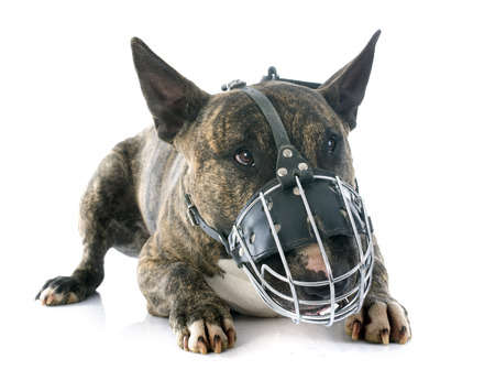 bull terrier and muzzle in front of white background