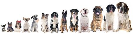 Photo pour group of dogs  in front of white background - image libre de droit