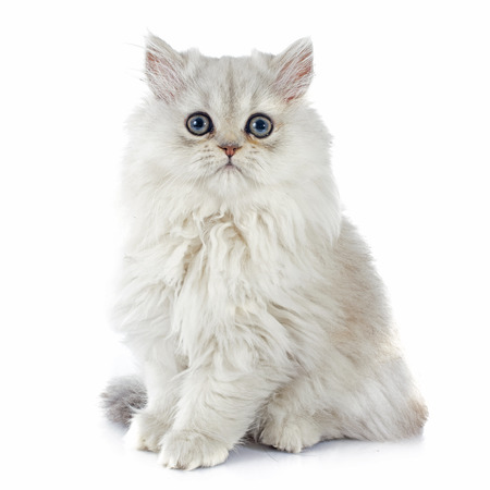 Photo pour persian kitten in front of white background - image libre de droit