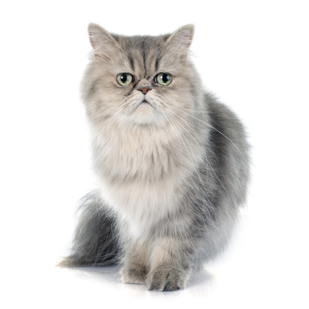 Photo pour persian cat in front of white background - image libre de droit