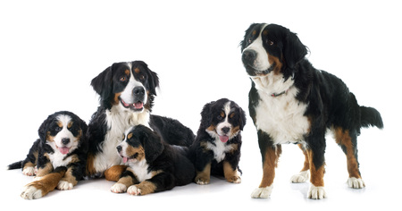 pupies and adult bernese mountain dog in front of white backgroundの写真素材