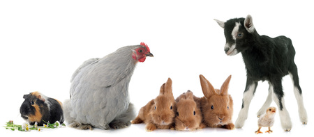 Photo pour group of farm animals in front of white background - image libre de droit
