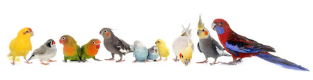 common pet parakeet, African Grey Parrot, lovebirds, Zebra finch and Cockatie lin front of white background