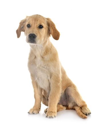 Photo for puppy golden retriever in front of white background - Royalty Free Image