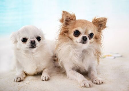 Photo for little chihuahuas in front of beach background - Royalty Free Image