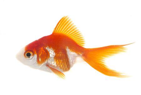 Photo pour red goldfish in aquarium in front of white background - image libre de droit