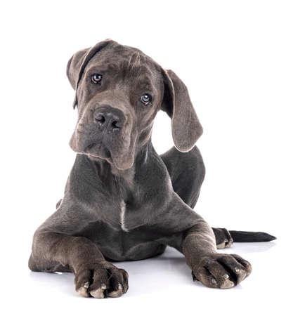 Photo pour puppy great dane in front of white background - image libre de droit