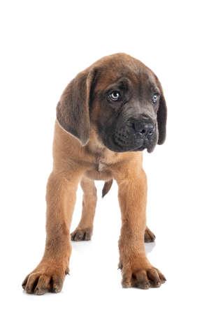Photo pour puppy italian mastiff in front of white background - image libre de droit