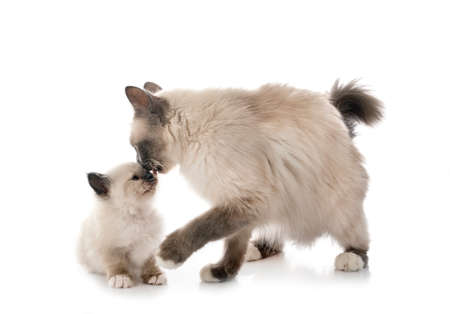 Photo pour birman kitten and mother in front of white background - image libre de droit