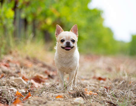 Photo pour little chihuahua walking free in the nature - image libre de droit