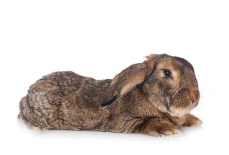 Photo pour Flemish Giant rabbit in front of white background - image libre de droit