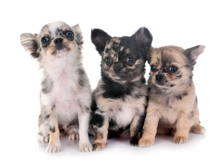 Photo pour chihuahua puppies in front of white background - image libre de droit
