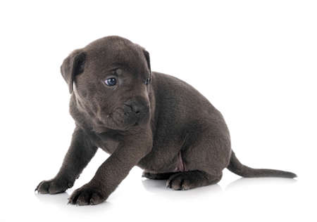 Photo pour Puppy italian mastiff isolated on white - image libre de droit