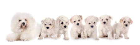 Photo pour young Bichons Frises in front of white background - image libre de droit