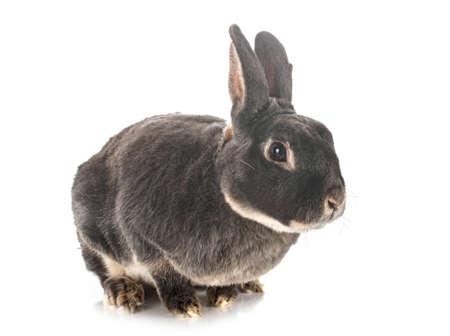 Photo pour Rex rabbit in front of white background - image libre de droit
