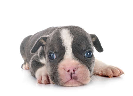 Photo pour puppy french bulldog in front of white background - image libre de droit