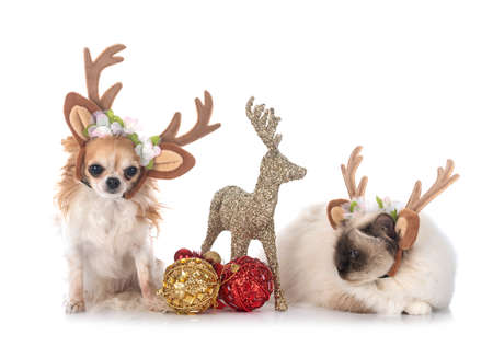 Photo pour birman cat and chihuahua in front of white background - image libre de droit