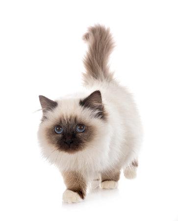 Photo pour burmese cat in front of white background - image libre de droit
