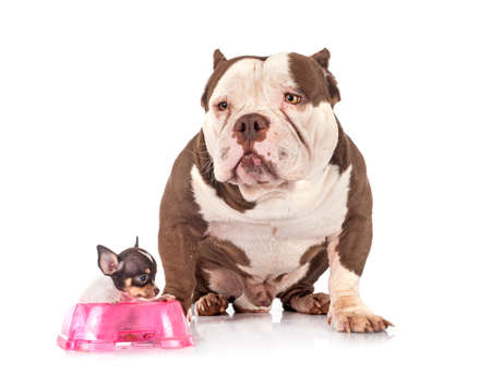 Photo pour american bully and chihuahua in front of white background - image libre de droit