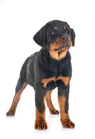 Photo pour puppy rottweiler in front of white background - image libre de droit