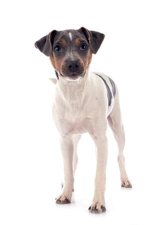 Photo pour brazilian terrier in front of white background - image libre de droit