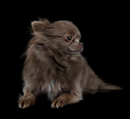 Photo pour little chihuahua in front of white background - image libre de droit