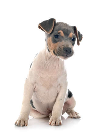 Photo for brazilian terrier in front of white background - Royalty Free Image