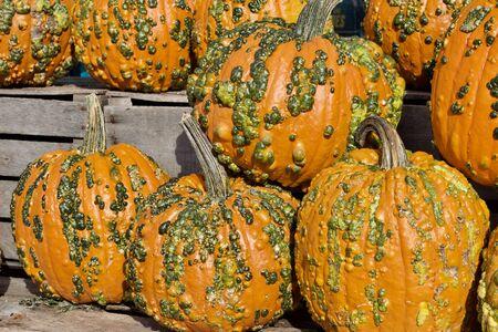 Foto de Colorful warty textured orange and green Halloween pumpkins - Imagen libre de derechos