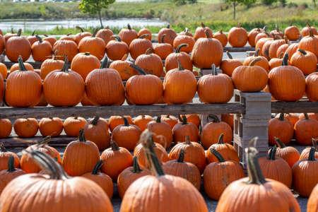 Foto de Close up outdoor texture view of freshly harvested large orange Jack O' Lantern size pumpkins with a sunny neutral background - Imagen libre de derechos