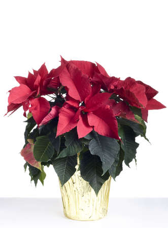Christmas poinsetta isolated on white.  Professionally spotted and retouched.  Clean background- no grey!