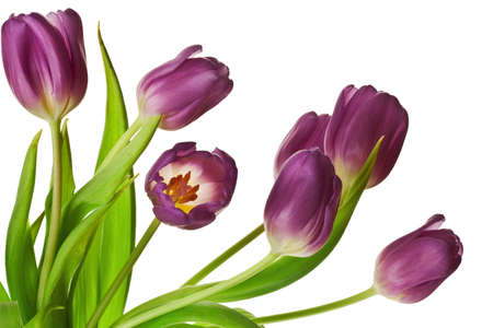 Purple Spring Tulips Isolated on a Pure White Background