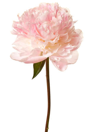 Photo for Peony Blossom isolated on a white background - Royalty Free Image