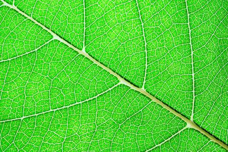 Foto de Green leaves background. Leaf of a plant close up. Pattern of growing leaf surface - Imagen libre de derechos