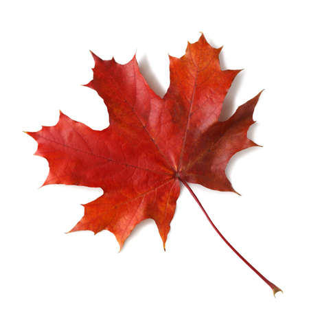 Photo pour Autumn maple leaf isolated on white background with shadows,  for isolation without shadows on white - image libre de droit