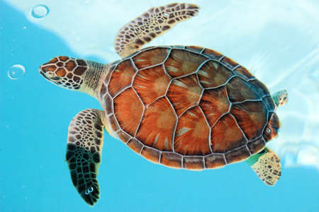 Photo for Endangered sea turtle in turquoise water - Royalty Free Image