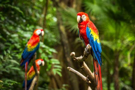 Portrait of colorful Scarlet Macaw parrots